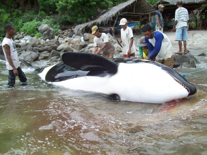 A harpooned orca in Lamalera, Indonesia.