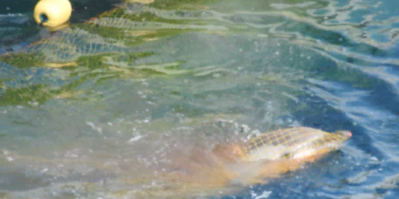 Striped dolphin caught in net, Taiji, Japan