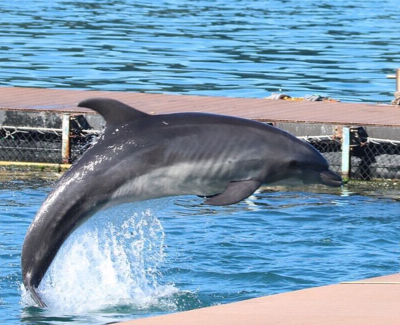 captured dolphin training malnutrition captivity taiji dolphin project