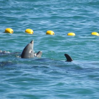 First Pod of Bottlenose Dolphins Captured in 2018-19 season, Taiji, Japan
