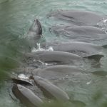 Melon-headed whale slaughter and captive selection, Taiji, Japan
