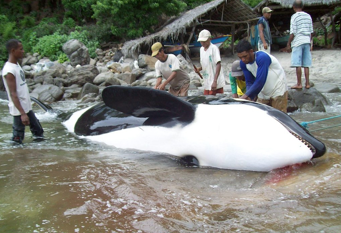 Since Dolphin Project exposed the killing of an entire orca family by fishermen in the village of Lamalera, positive steps have now been taken to end such slaughters.