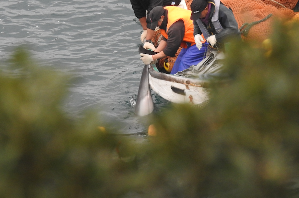 A young, dead dolphin is hoisted into a skiff, the Cove, Taiji, Japan