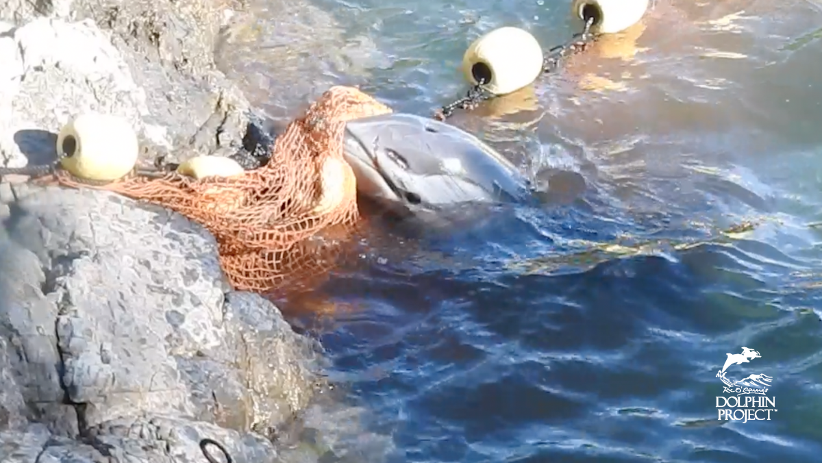 Injured striped dolphin struggles in nets after being driven into the Cove, Taiji, Japan.