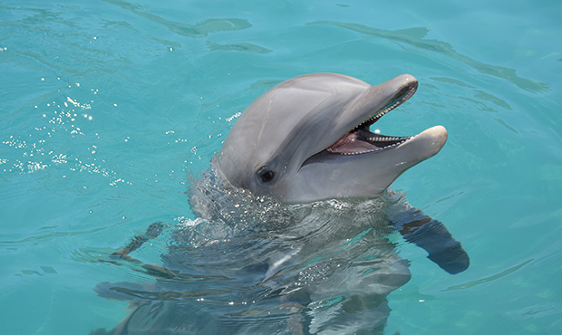 Bottlenose dolphin, credit: Dolphinaris Arizona