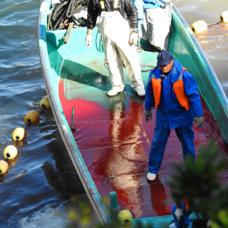 The blood of the dead: striped dolphin slaughter, Taiji, Japan