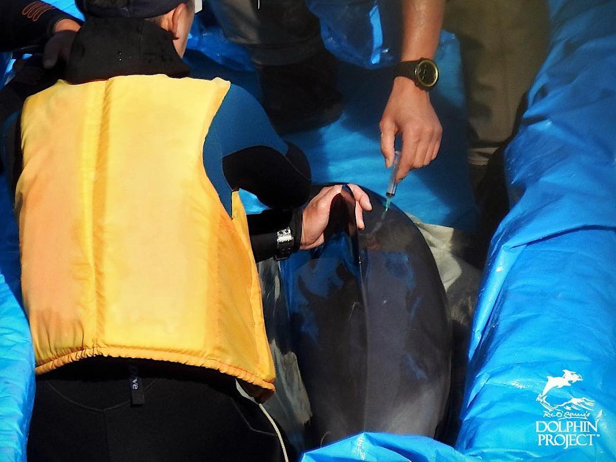 Trainer injects dolphin with unknown substance, Taiji, Japan.