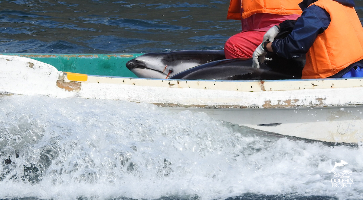 Multiple injuries were observed during the violent capture of Pacific white-sided dolphins.