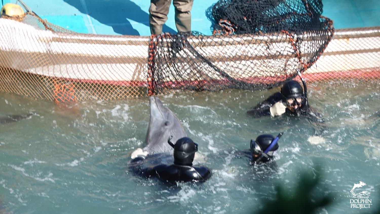 Bottlenose dolphin drive, Taiji, Japan.