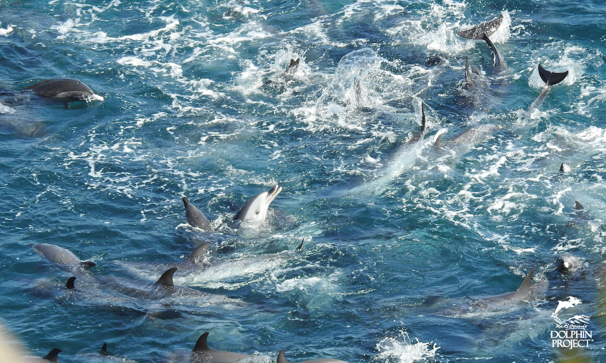Chaos in the Cove as a pod of pantropical spotted dolphins are driven into the Cove, Taiji, Japan.