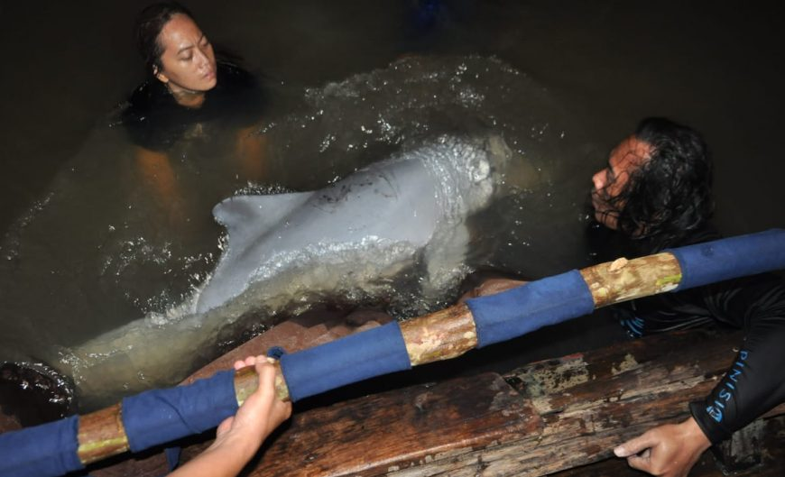 Indonesia dolphin rescue team releases dolphin into open water.