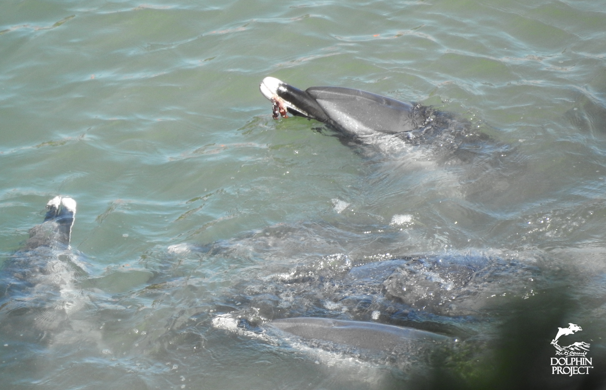 Dolphin expels contents of stomach after being driven into the Cove, Taiji, Japan.