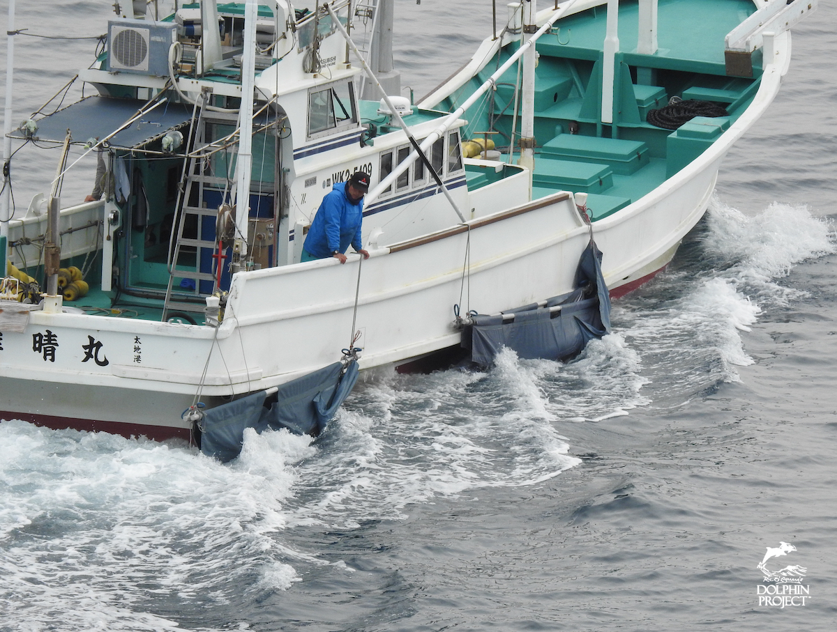 Young Risso's calves being dumped back at sea, Taiji, Japan