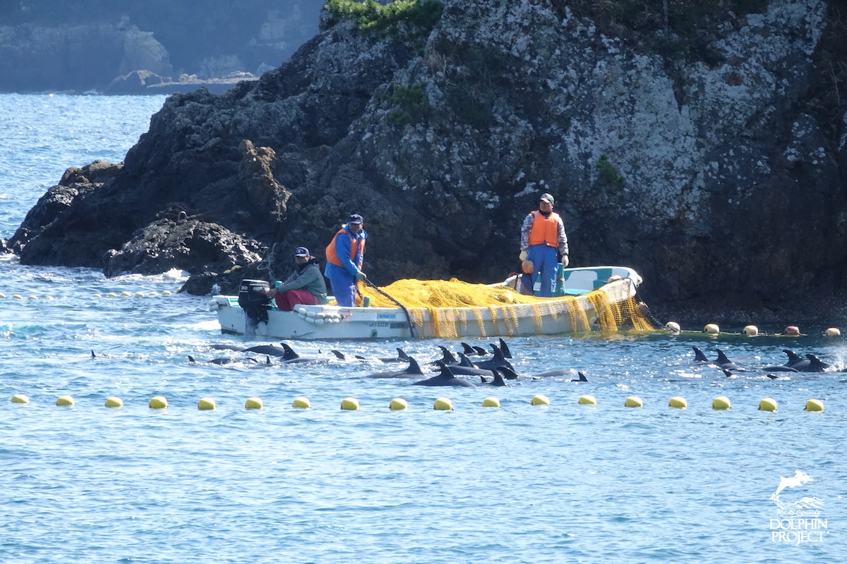 Pantropical spotted dolphins are driven into the Cove, Taiji, Japan