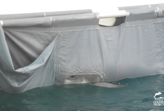 Young Risso's calf dumped back at sea without its mother, Taiji, Japan