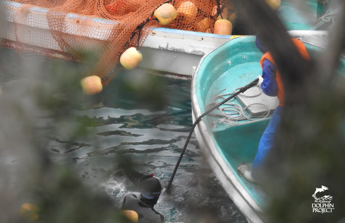 Risso's dolphin being dragged underneath the tarps for slaughter, Taiji, Japan