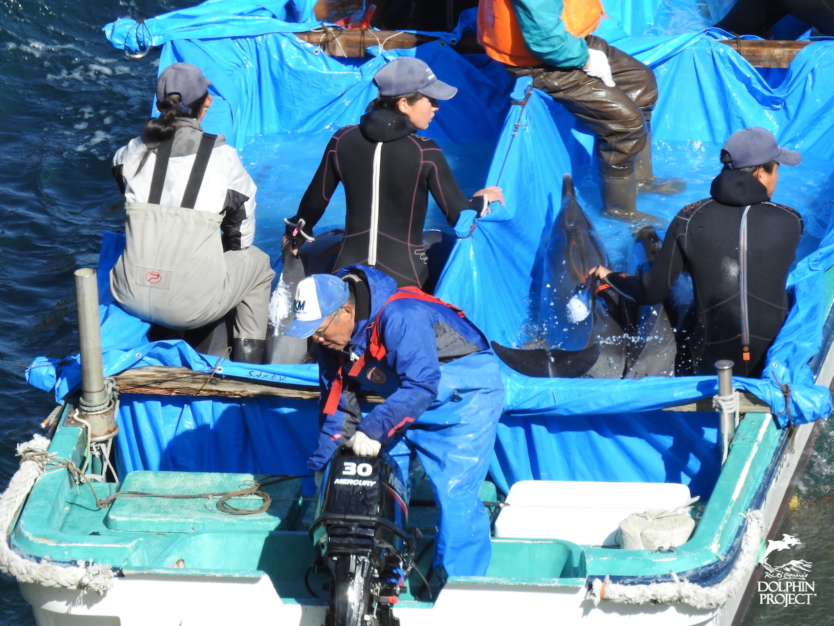 """Stolen! Pantropical spotted dolphins whisked away for """"life"""" in captivity, Taiji, Japan."""