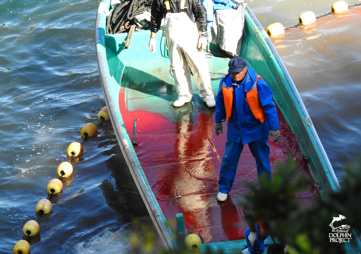 The blood of the dead: striped dolphin slaughter, Taiji, Japan.