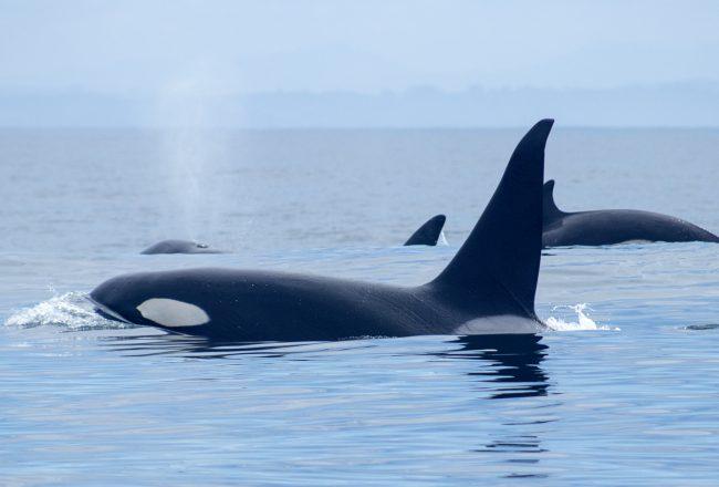 Monterey Bay orca pod