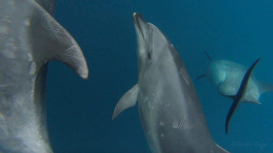 wild bottlenose dolphins underwater