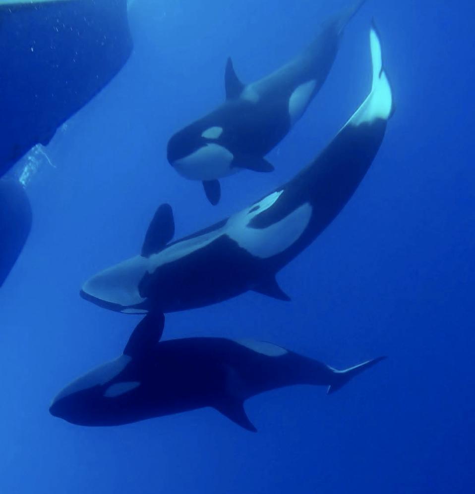 Australia Orca