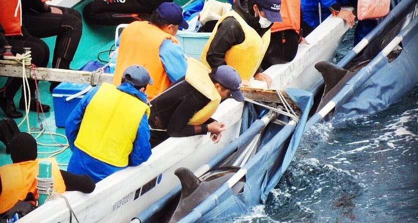 Dolphin in Sling during Capture Taiji Japan