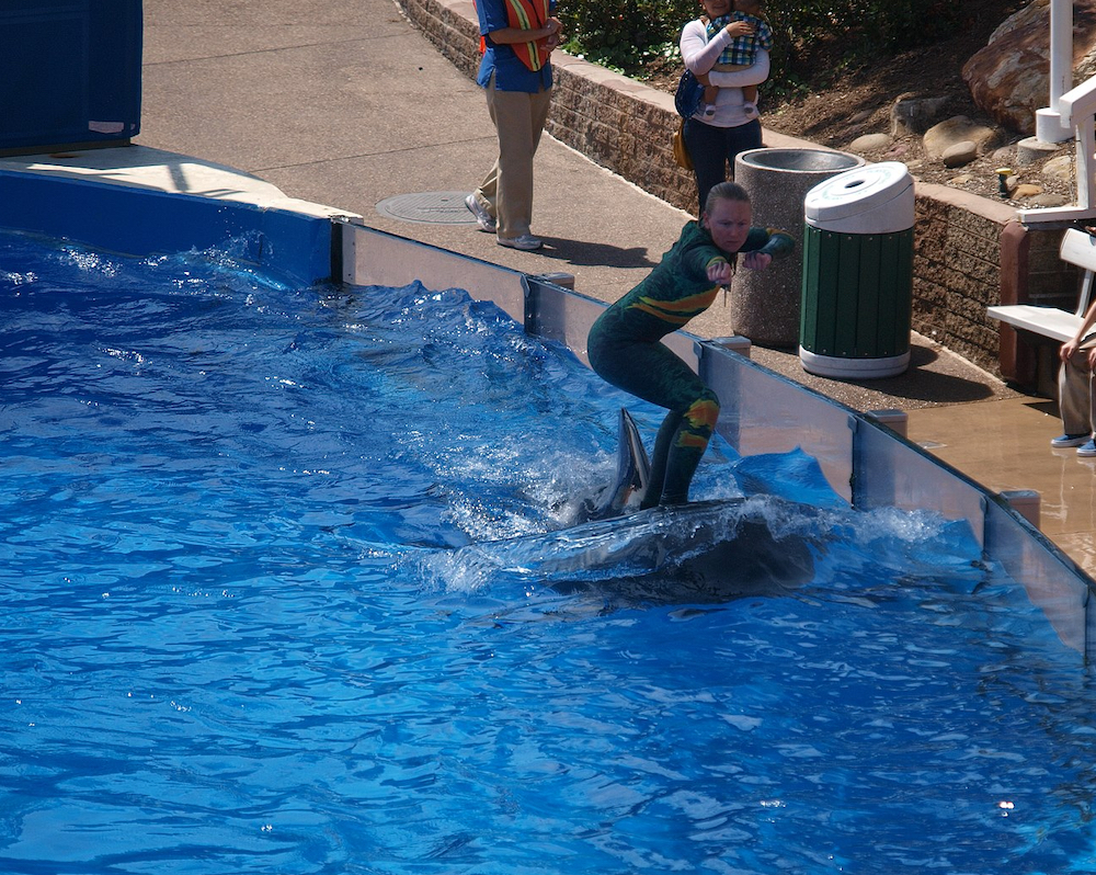 "Trainer ""surfs"" on the back of a pilot whale, SeaWorld San Diego 2012"
