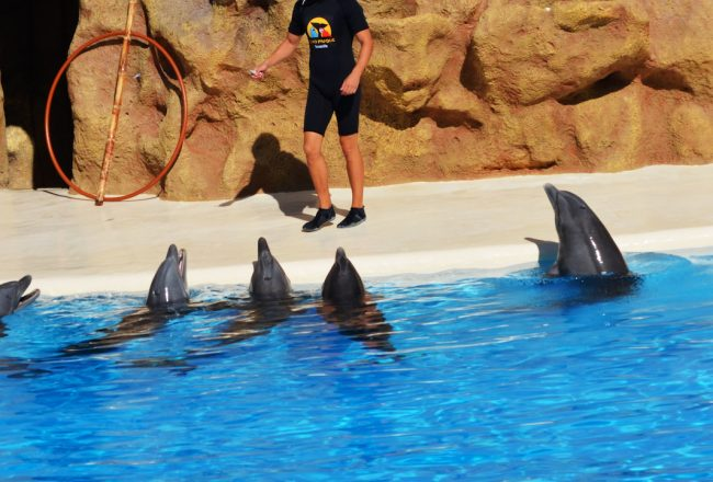 Bottlenose dolphins perform tricks for food, Loro Parque. Credit: Helene O'Barry