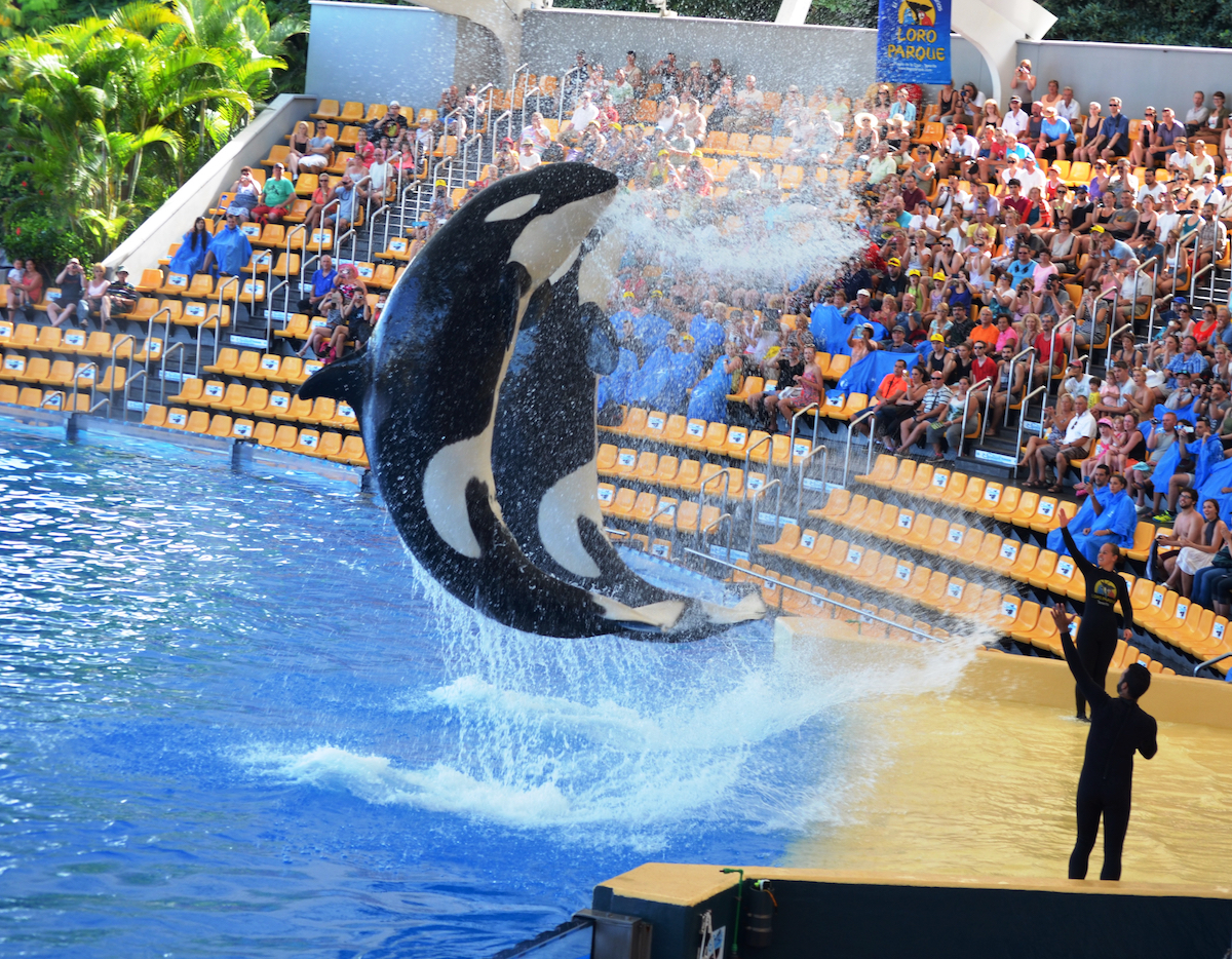 Captivity isn't fun and games. Behind the scenes, it's a life of suffering, Loro Parque. Credit: Helene O'Barry