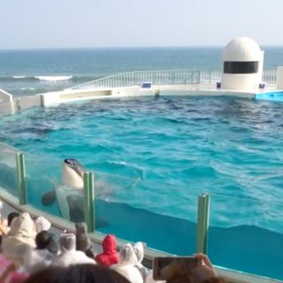 Captive orca at Kamogawa Sea World, Japan