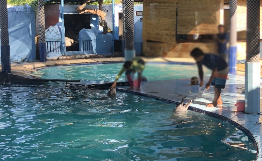 Dolphins perform for tourists, Melka Excelsior Hotel, Indonesia