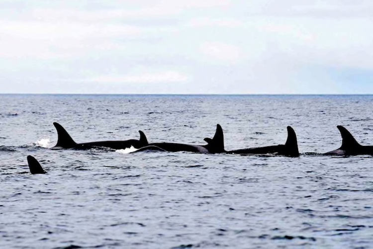 Southern Resident orcas off the coast of San Juan Island in Haro Strait. Credit: Twitter/DFO Pacific
