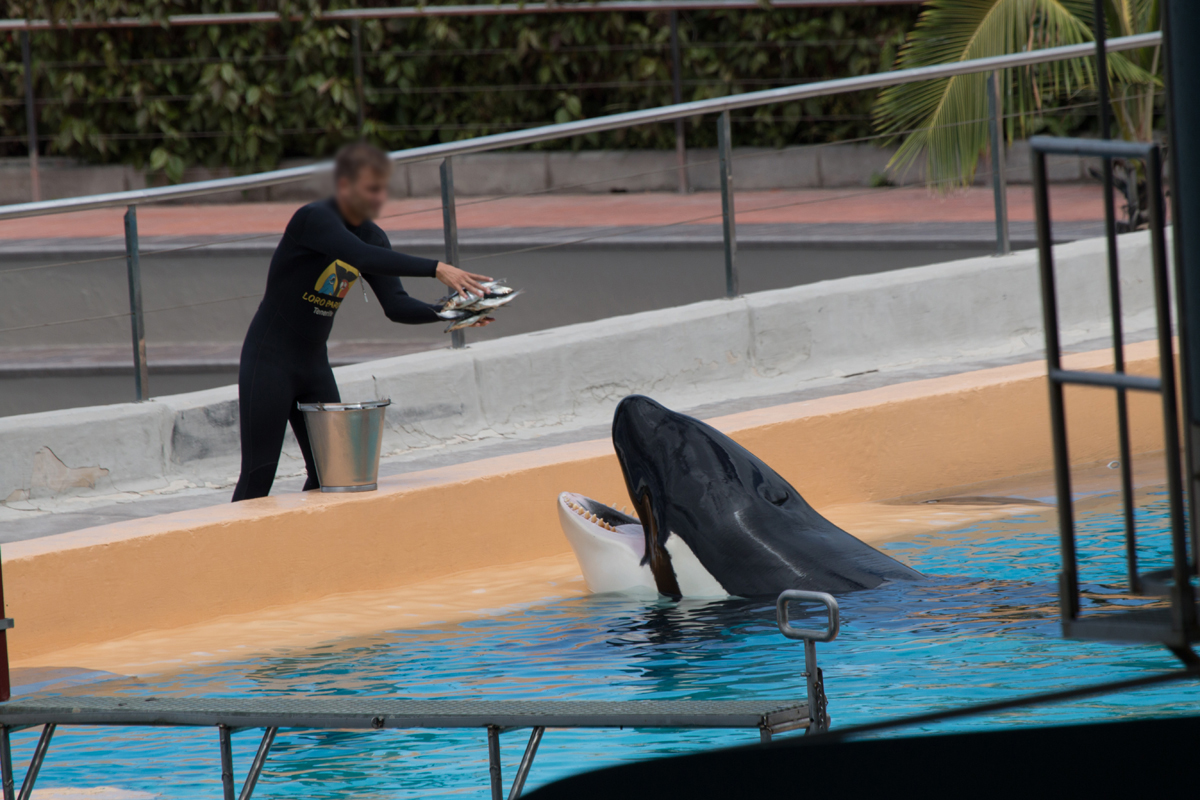Trapped in small tanks and unable to forage on their own, captive orcas depend completely on their trainers for food