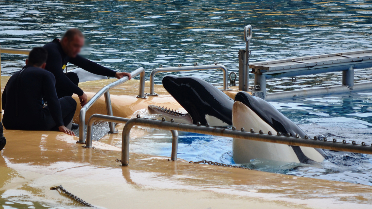 Unlike their relatives in nature, the orcas at Loro Parque will never use their sonar, communication skills, intelligence and speed to navigate, explore, and hunt live prey.