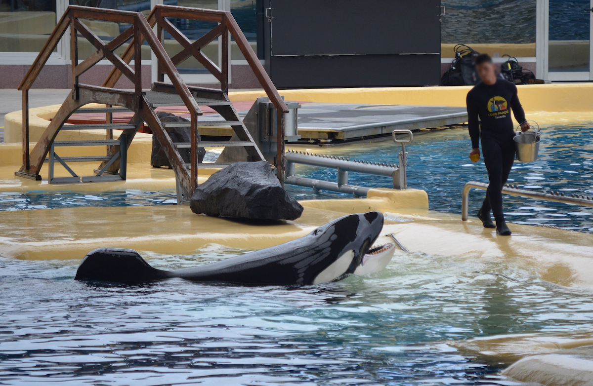 Keto opens his mouth to receive a chunk of gelatin, which is an artificial source of hydration for captive orcas