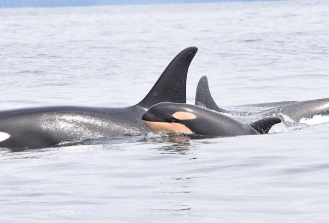 J31 swimming with calf off Vancouver Island, credit: Fisheries and Oceans Canada (DFO)