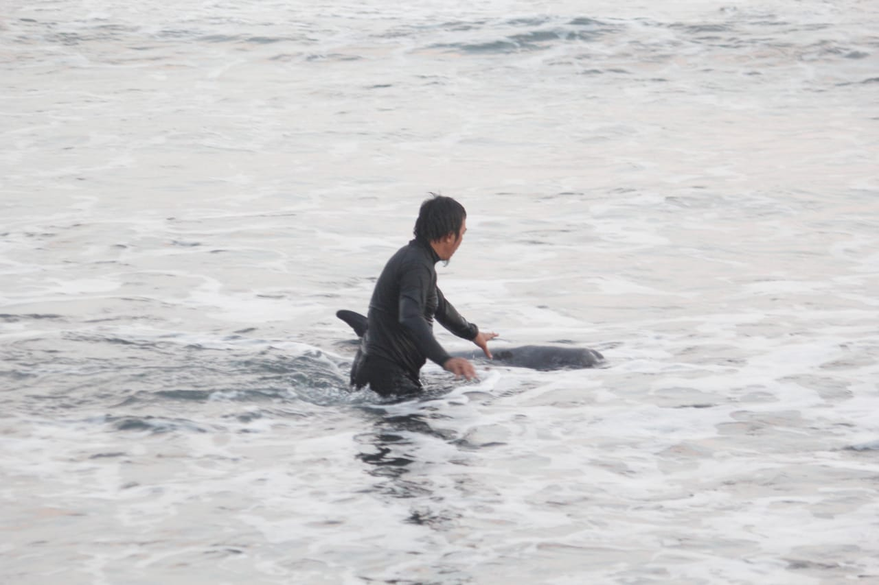 Dolphin Project and JAAN help stranded pilot whale return to sea, Bali, Indonesia