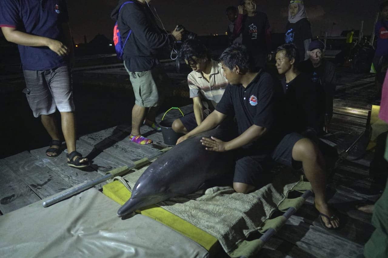 Dolphins prepared for transport, Bali, Indonesia