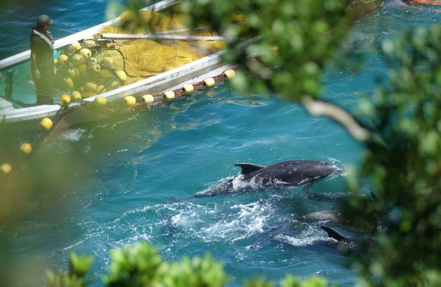Dolphins panic as nets are drawn around them, preventing escape, Taiji, Japan.