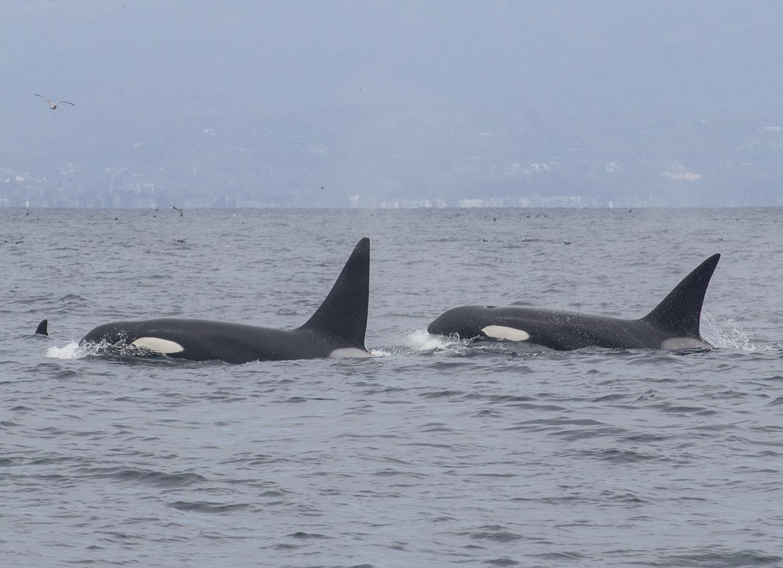 Wild orcas swim free monterey bay california