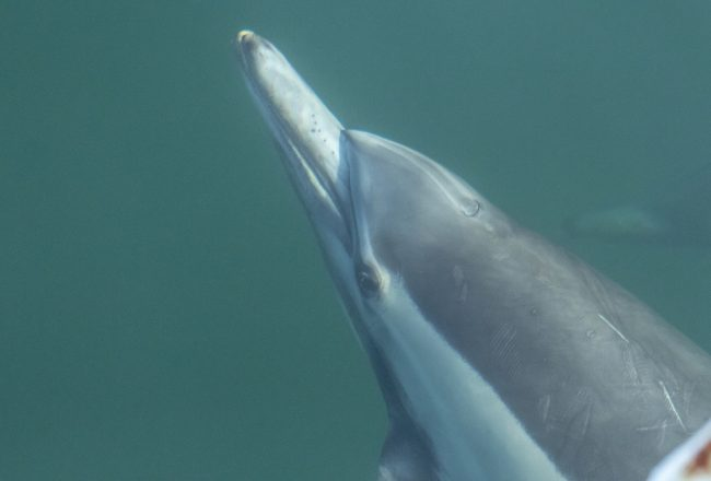 Locking eyes with a wild common dolphin