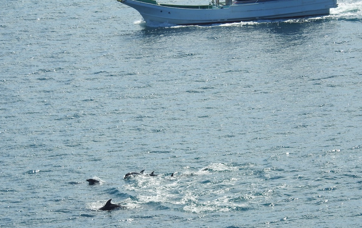 Hunters chase wild bottlenose dolphins until exhaustion, Taiji, Japan