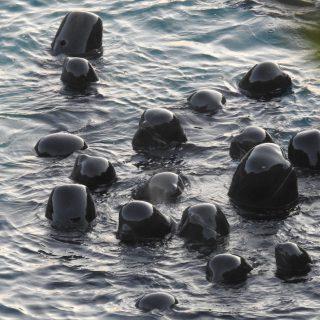 Pilot whale slaughter and captive selection, Taiji, Japan