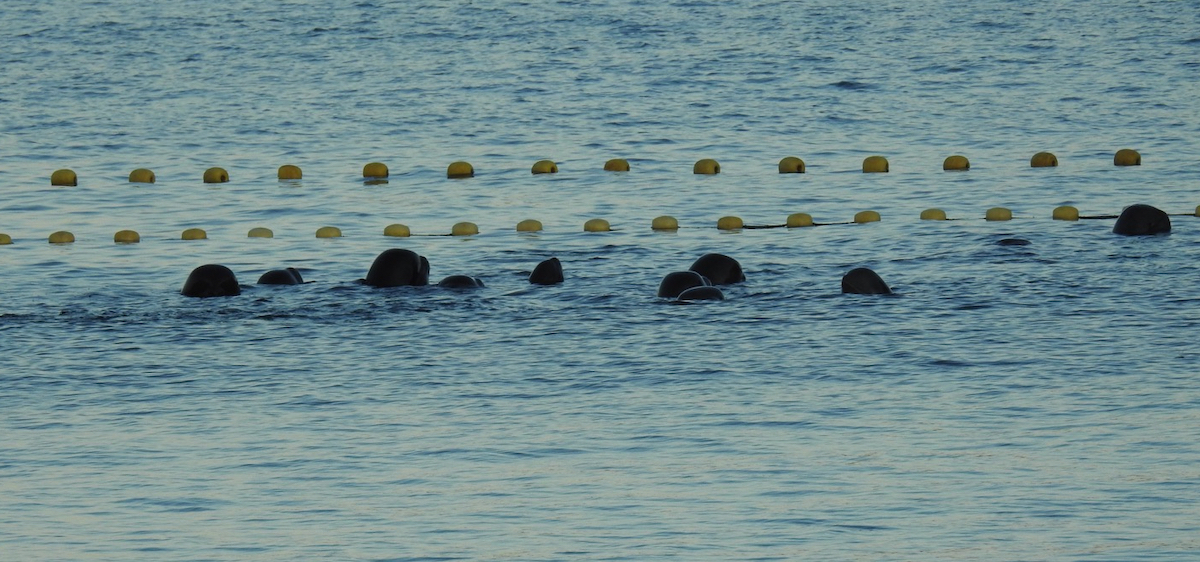 Pilot whales left overnight in the Cove, Taiji, Japan
