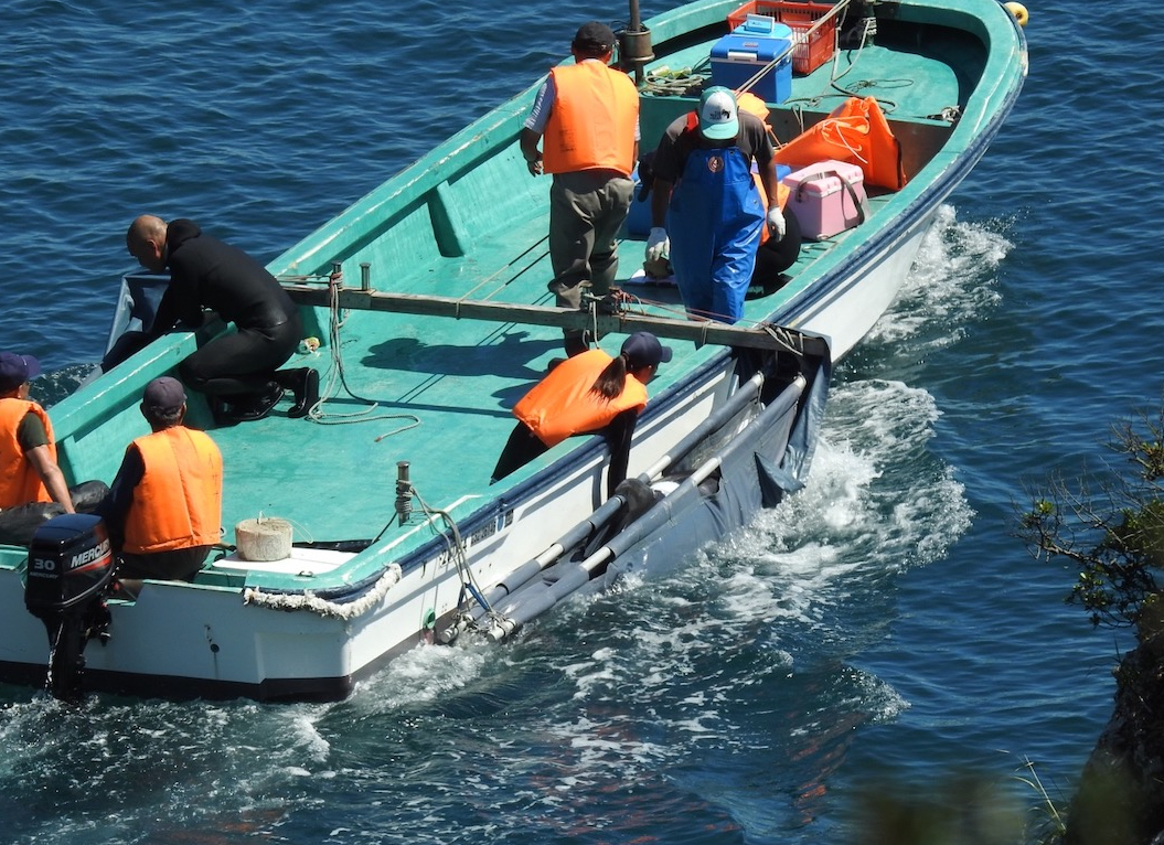 "Wild-caught bottlenose dolphin selected for ""life"" in captivity, Taiji, Japan"