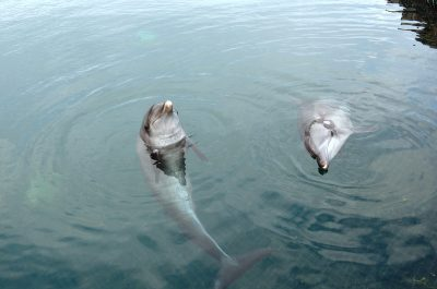 Rambo (left) and Rocky (right) in their temporary floating sea enclosure, Bali, Indonesia