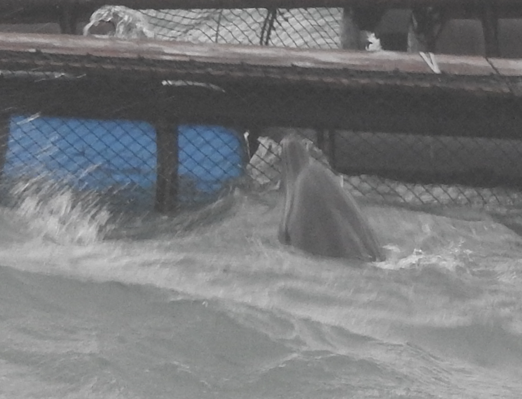 Bottlenose dolphin endures the wrath of Typhoon Hagibis, Dolphin Base, Taiji, Japan.