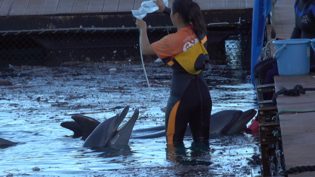Dolphins being intubated for hydration, Taiji, Japan.