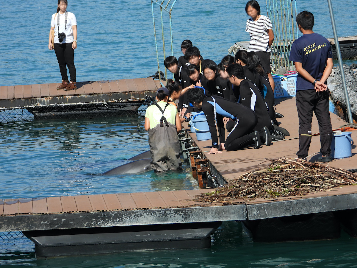 Dolphin trainers teach trainees how to command captive dolphins, Taiji, Japan