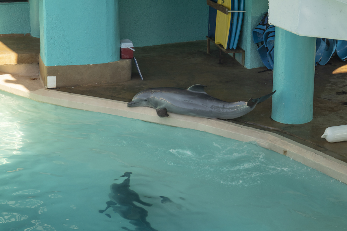 A Delphinus dolphin at the Interactive Aquarium in Cancun jumps out of the water to escape their tanks mates.